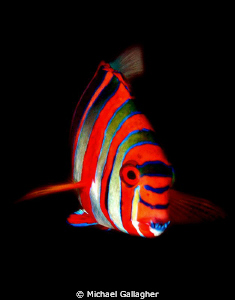 Harlequin Tuskfish, GBR, Australia by Michael Gallagher 